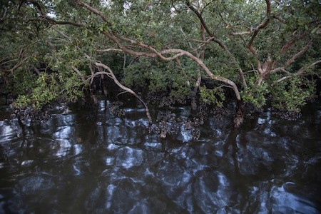 Mangroves surrounded by waste oil